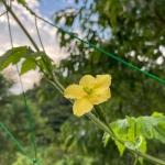 家庭菜園で栽培している花が咲いたゴーヤ